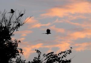 夜明けのオナガ