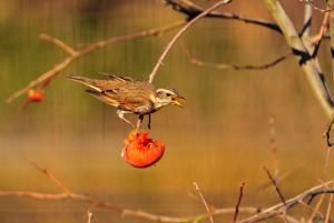 柿の実を食べるツグミ