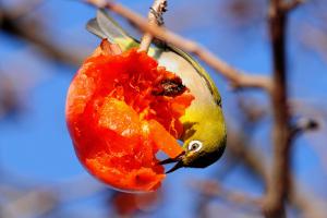 柿の実を食べるメジロ