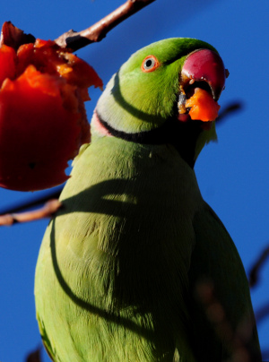 柿の実を食べるワカケホンセイインコ