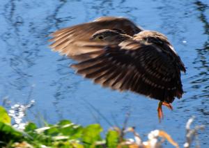 飛ぶホシゴイ