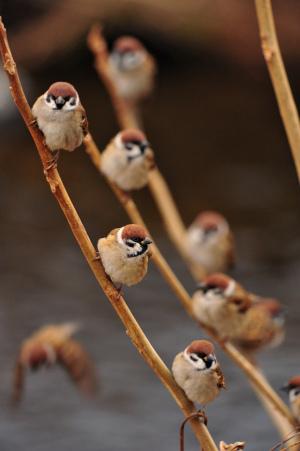 枝にとまるスズメたち