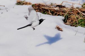 雪とセグロセキレイ