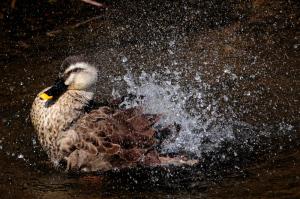 水浴びするカルガモ