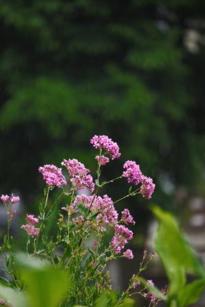 雨の中の花々