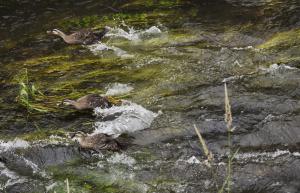 水面を走るカルガモのヒナ