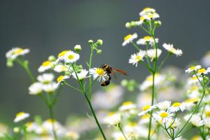 ヒメジョオンとハチ