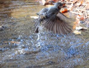 ヒヨドリの水浴び