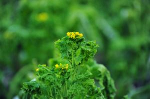 畑に咲いた黄色い花