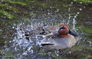 水浴びするコガモ