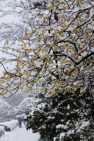 ロウバイに雪