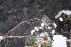 雪にたたずむキジバト