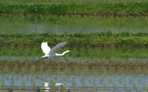 田圃に飛ぶダイサギ
