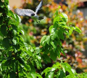 飛ぶオナガ