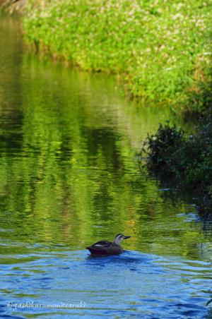 川面とカルガモ