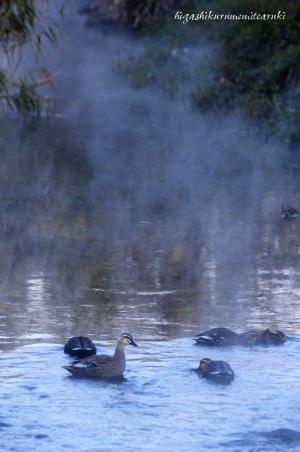 朝霧とカルガモ
