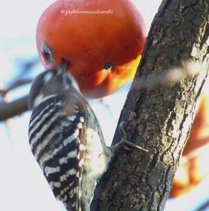 柿の実をつつくコゲラ