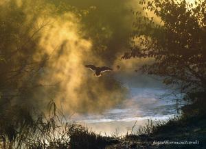 朝霧に舞うカルガモ