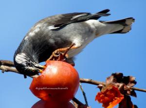 柿食うムクドリ