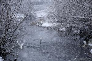 初雪とダイサギ