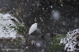 初雪とコサギ