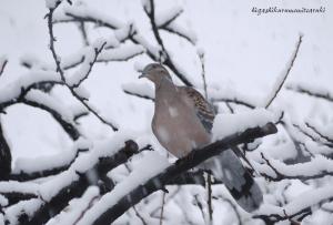 初雪とキジバト