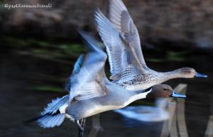 飛ぶオナガガモ