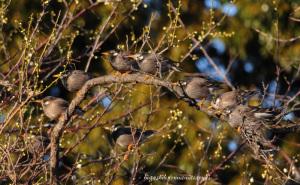梅の蕾とムクドリ