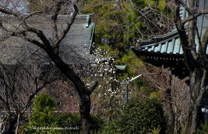 大円寺の春