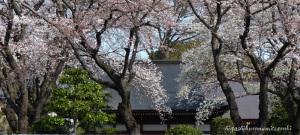 盛りの寺桜