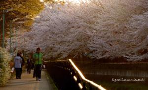 夕日と桜と人と道