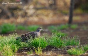 キジバトの春