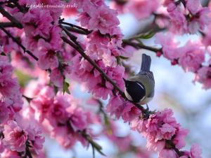 桃の花にシジュウカラ