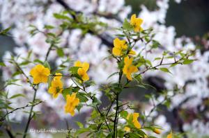 ヤマブキと桜