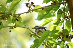 桑の実を食べるムクドリ