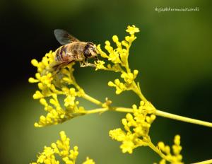 オミナエシにミツバチ