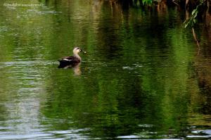 緑の川面にカルガモ