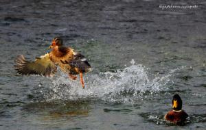 飛ぶ雑種のカモ