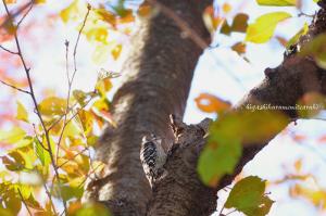 初冬のコゲラ