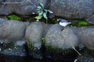 石垣とセグロセキレイ