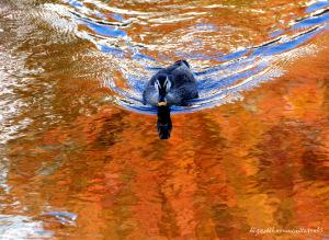 紅葉映す川面とカルガモ