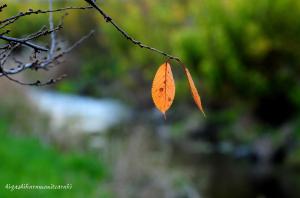 名残惜しい桜の葉