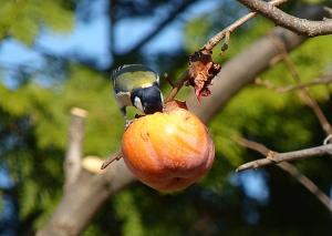 柿の実とシジュウカラ