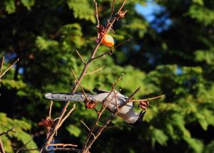 柿の実を食べるオナガ