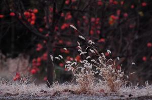 冬枯れのネコジャラシ