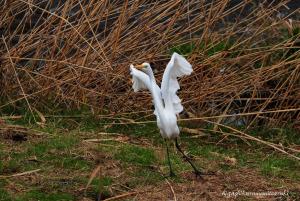 飛び立つダイサギ