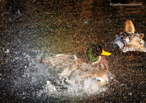 カモの水浴び