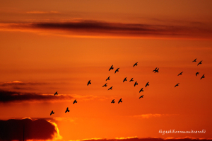 朝焼けに飛ぶハト