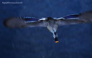 飛ぶカルガモ