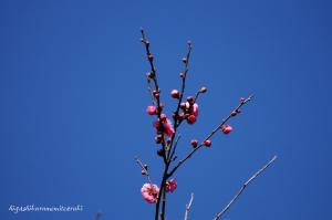 早くも紅梅が咲く